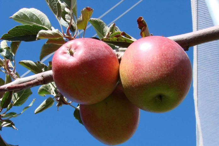 Pink Lady apples hanging on a tree.