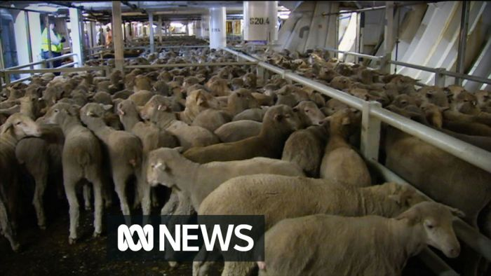 Image result for Livestock Exporter Raised concerns with Federal Government before Thousands of Sheep Died at Sea