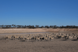 Sheep walking in front of a dam