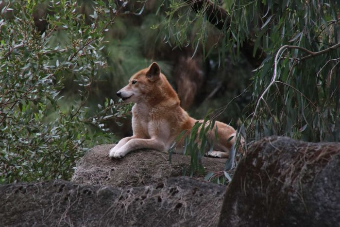 A dingo sits on a rock surrounded by trees and plants.