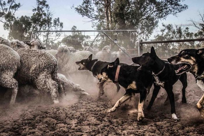 Sheep dogs chasing sheep into a pen, with open mouths.
