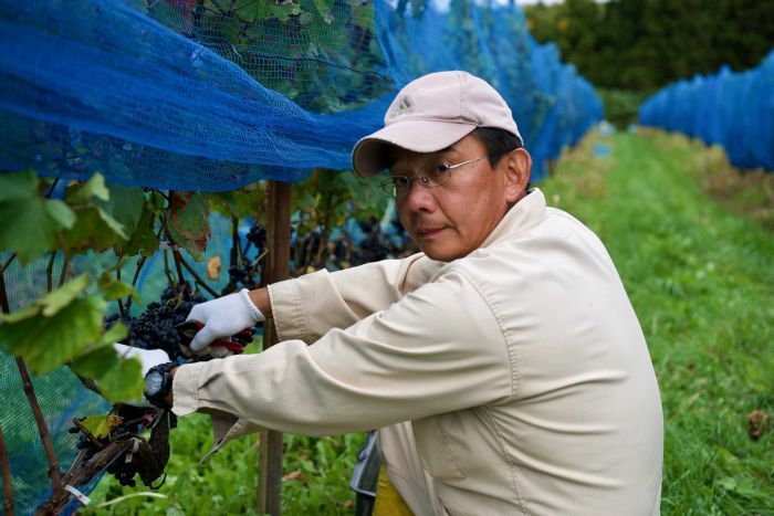 A man looks at the camera while removing grapes from a vineyard