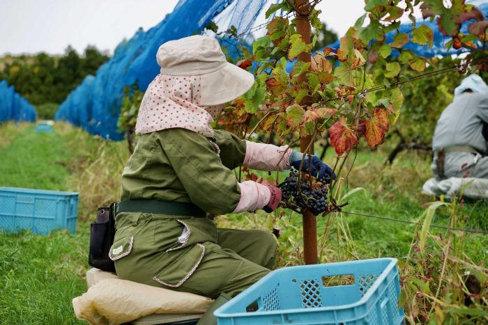 A woman covered up in long clothes picks grapes in a vineyard