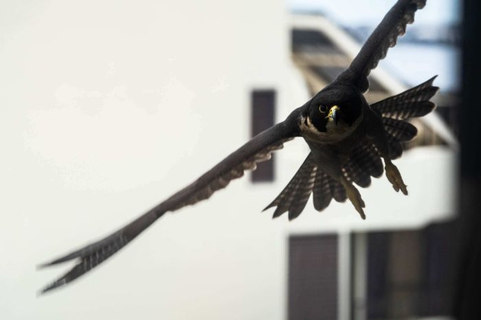 A peregrine falcon flies between two buildings in the Perth suburb of Crawley