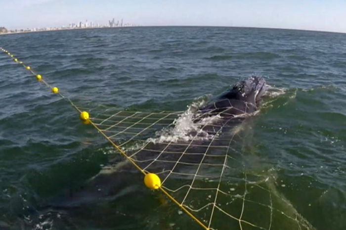 Seaworld rescue team approaches a humpback whale calf trapped in a shark net.