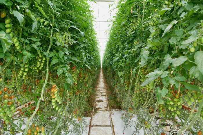 Inside a glasshouse looking down a long row of vine tomatoes.