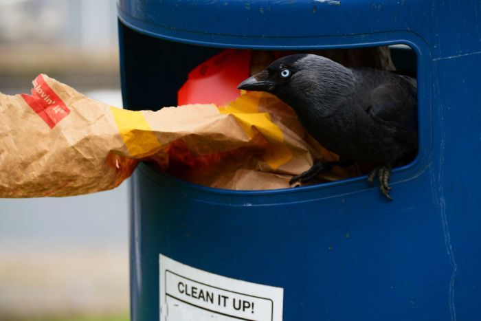 A blackbird inside a rubbish bin, with paper rubbish sticking out.