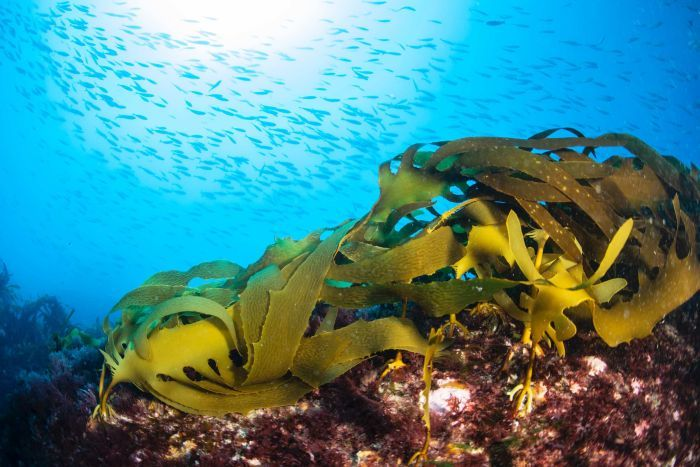 Common kelp is seen on the ocean floor while a school of fish swim above.