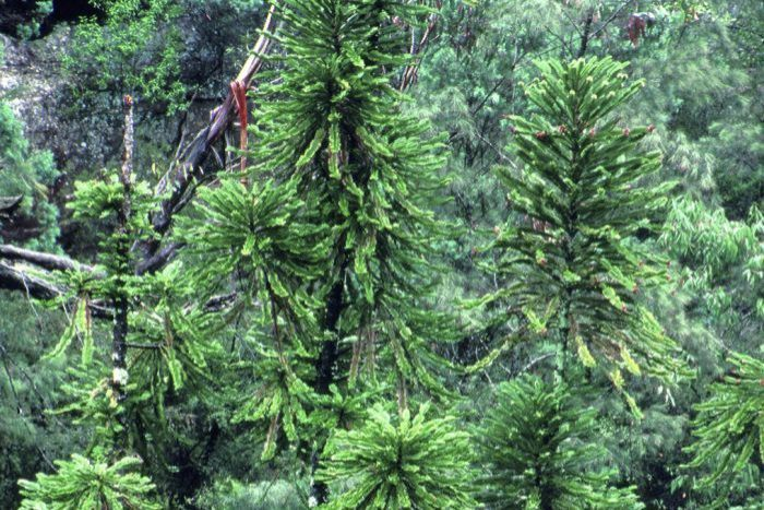 Large pine trees pictured growing in a forest.