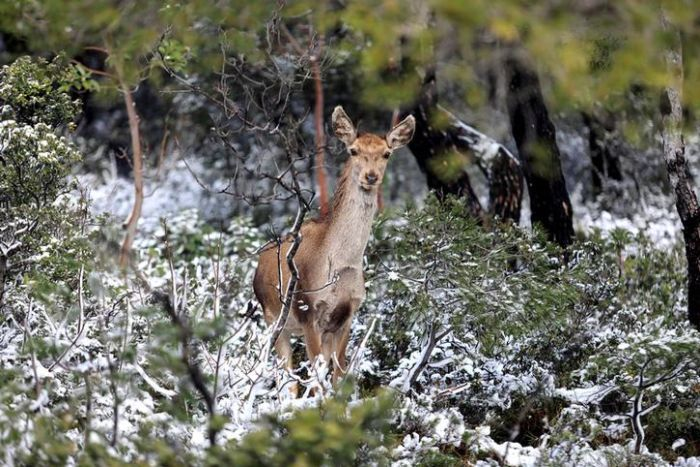 A deer looks directly at the camera as it appears in a forest clearing with shrubs covered in snow.