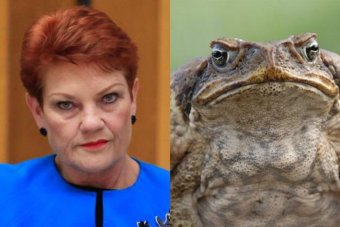 A composite image of Pauline Hanson at Senate Estimates and a giant cane toad found in the Coffs Harbour region.