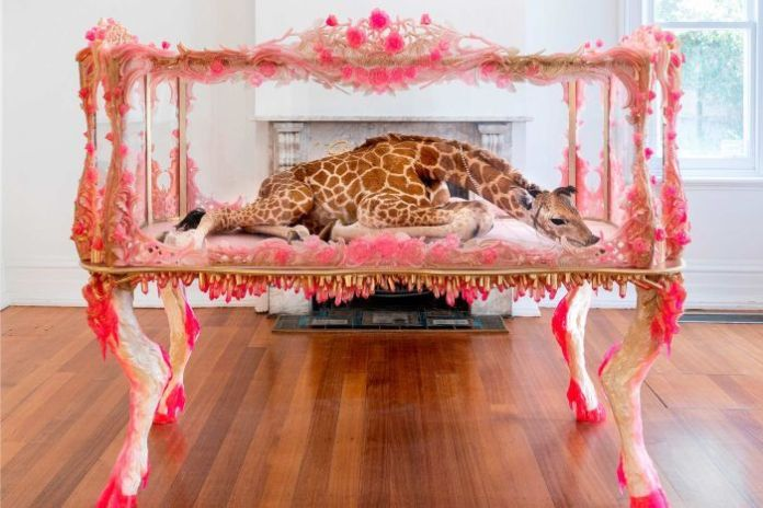 The body of a baby giraffe encased in a decorative glass cabinet