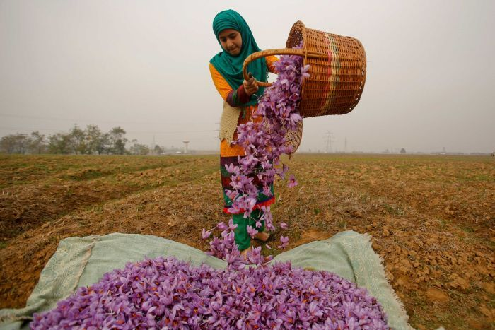 A Kashmiri woman wearing orange and a green headscarf collects purple saffron flowers