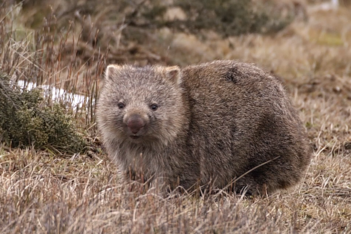 A wombat in the grass in Tasmania's Central Plateau