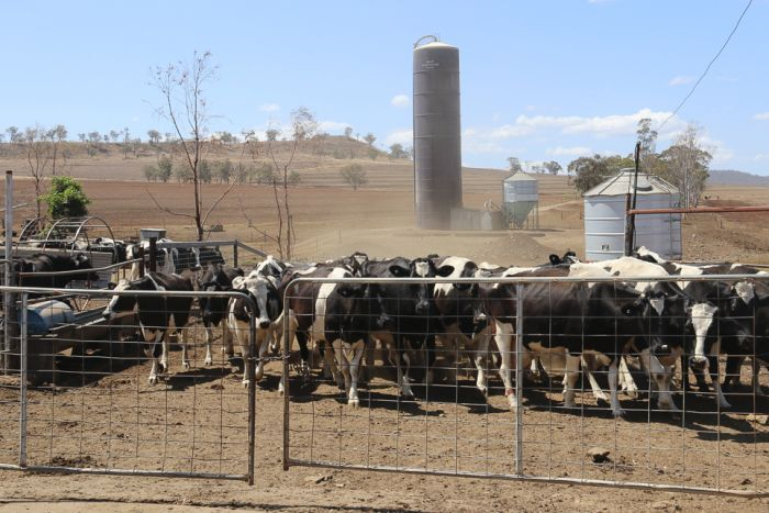 A mob of dairy cows are is rounded up before being loaded onto a truck.