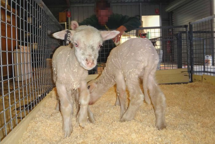 Two lambs stand in a pen with a prisoner in the background.