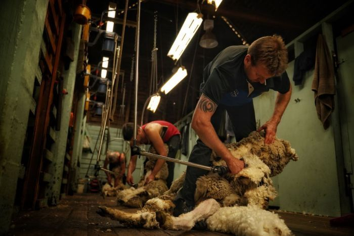 Men in a shed shearing sheep.