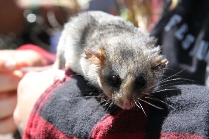 A possum looks at the camera while resting on a girl's arm.