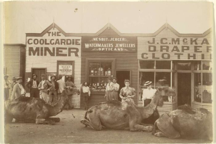 Three camels lay in front of shops in Coolgardie while people standby in the 1890s