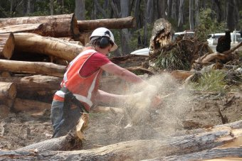 Timber worker with a chainsaw in Tasmania.