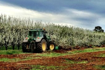 Plum trees being removed from an orchard in Northern Victoria