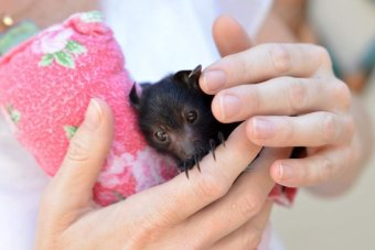 Wildlife carers say you need proper training to handle bats.