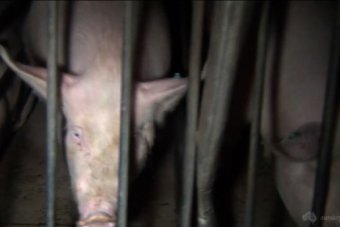 Pig are filmed in their cage