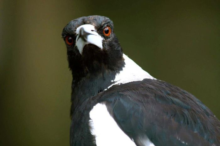 A black-and-white magpie with brown eyes looking at the camera