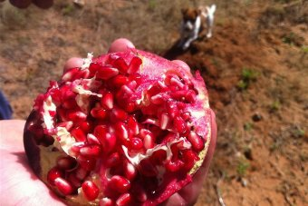 Pomegrantes are growing in popularity because of perceived health benefits