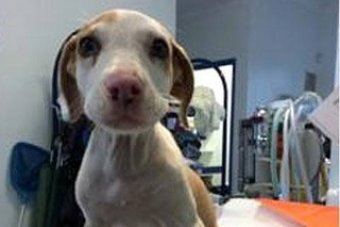The sole surviving puppy was found near bushland on McLeod Road at Kurri Kurri.