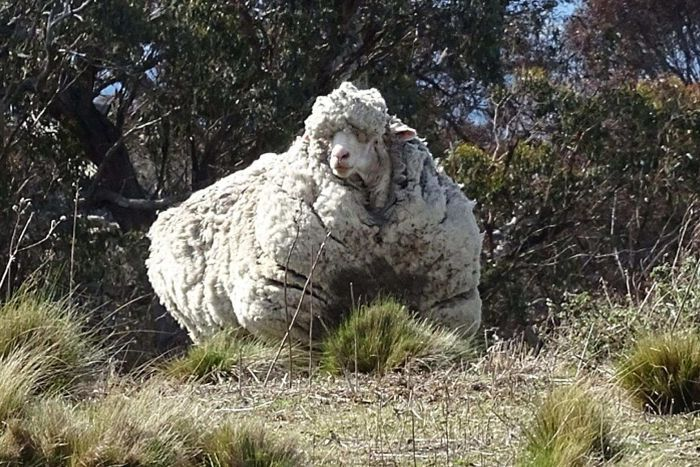 Seriously woolly sheep found near Canberra
