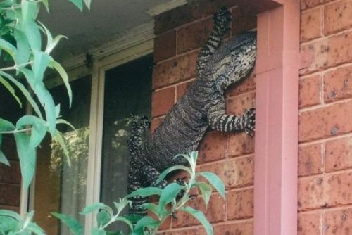 Eric Holland found this goanna hanging from the side of his house.