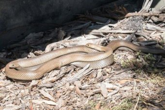 Brown snakes