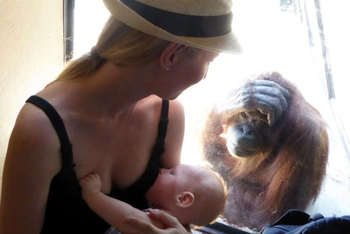 Woman breastfeeding her 13-week-old son with an orangutan looking on at Melbourne Zoo.