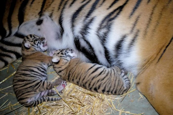 Tiger cubs cuddle up to mum