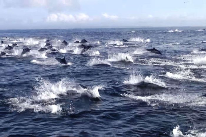 Dolphins flee an orca attack in waters off California.