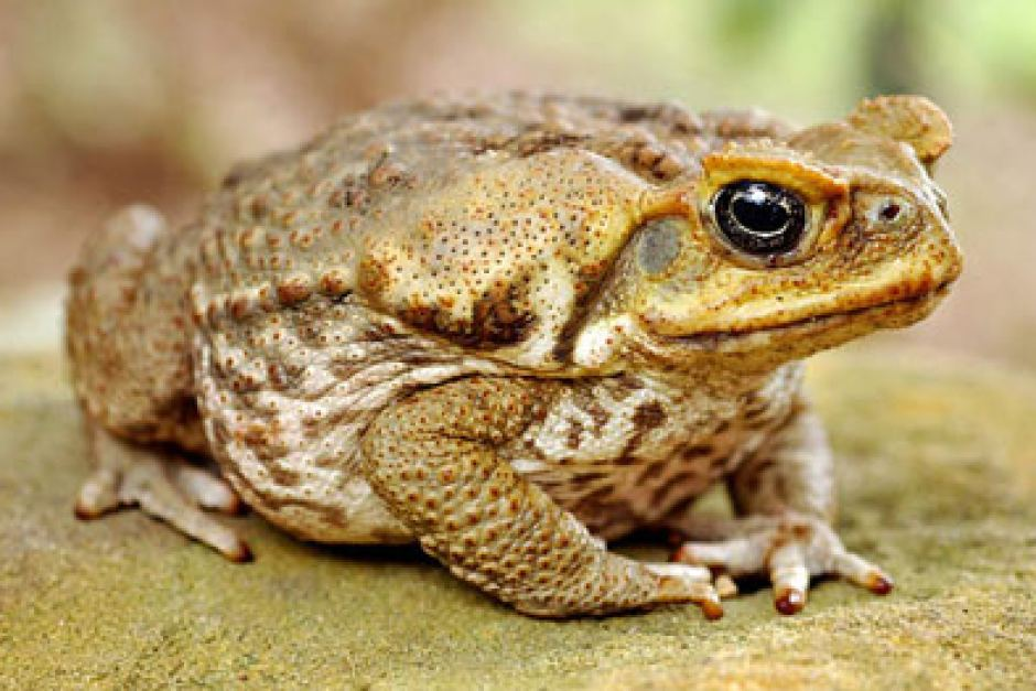 Image result for cane toad images