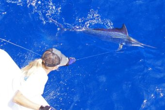 A women angler guides a smaller black marlin to the stern of the boat to tag and release