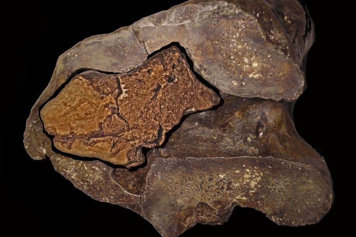 Image result for Fossilized dinosaur brain discovered for the first time same as Crocodiles and Birds