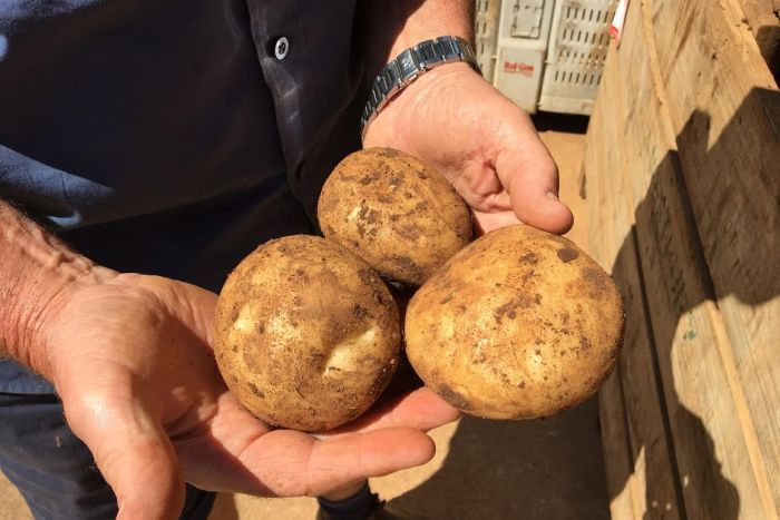 Thorpdale potato farmer Alan Westbury shows off some new season potatoes.