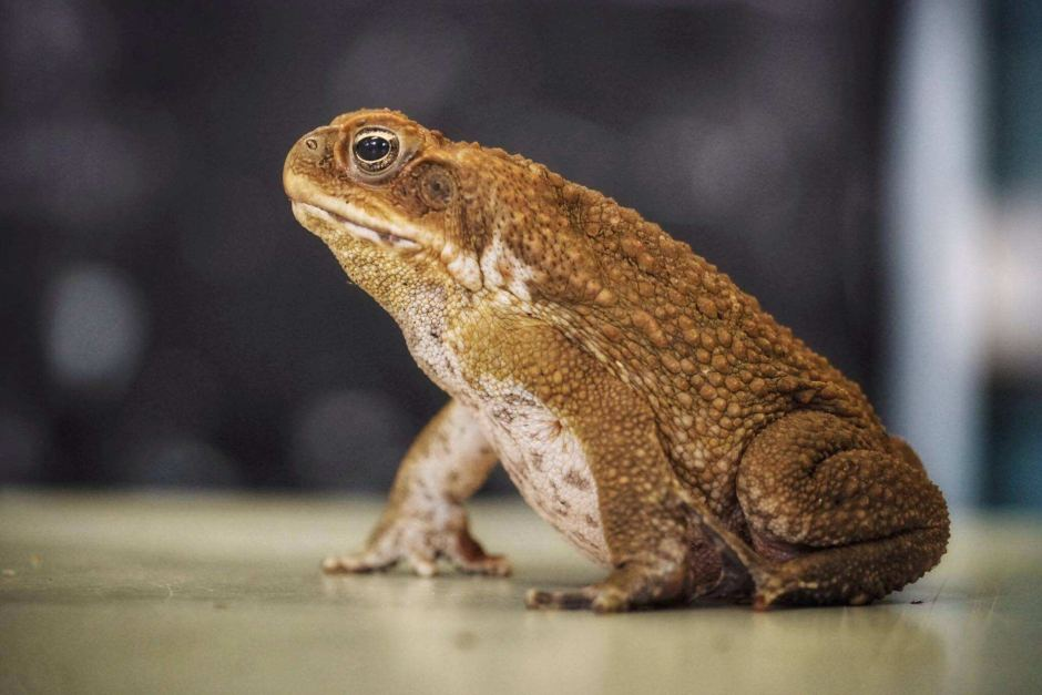 Cane toad havoc not bad news for all native animals  some of which     a cane toad