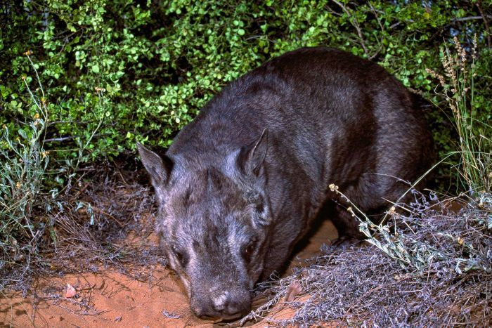 Northern hairy-nose wombat