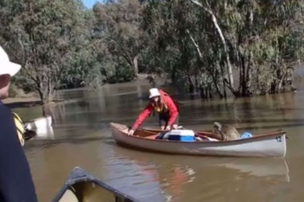 A koala sits on a seat in a canoe as a La Trobe University student pushes it to dry land.