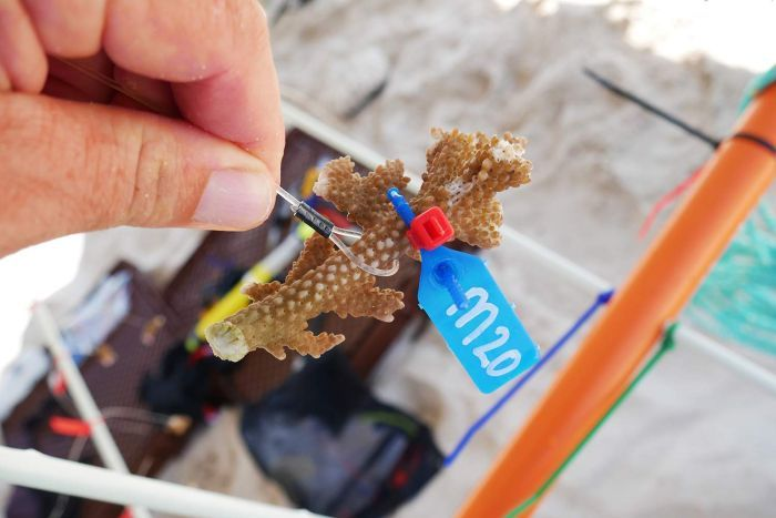 Acropora coral tagged for monitoring as part of a study to replant coral on the Great Barrier Reef.