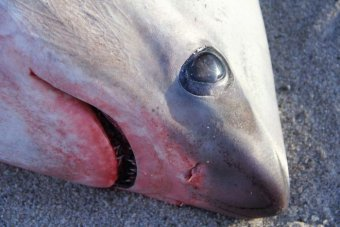 The eye of a dead thresher shark found in the US.