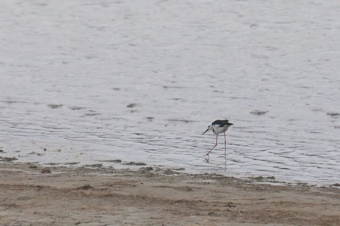 A black winged stilt in shallow water.