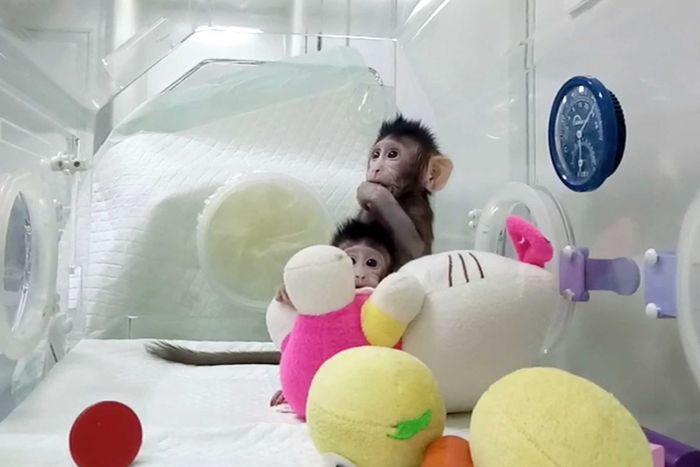 Cloned monkeys Zhong Zhong and Hua Hua sit in a plastic enclosure with soft toys.