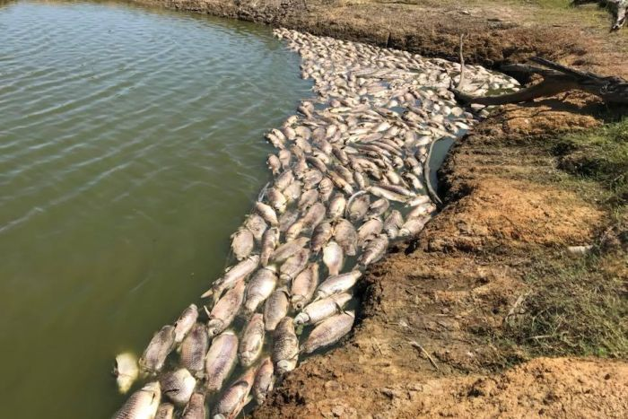 More than a hundred dead fish floating on a lake, pushing up against the shore.