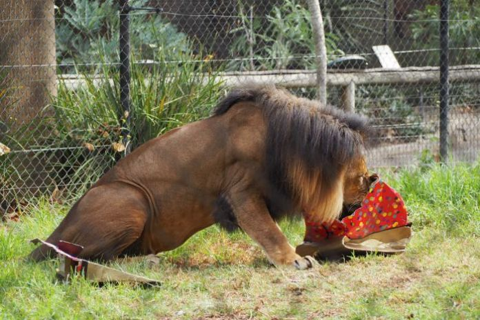 Lion at Adelaide Zoo with an Easter treat.