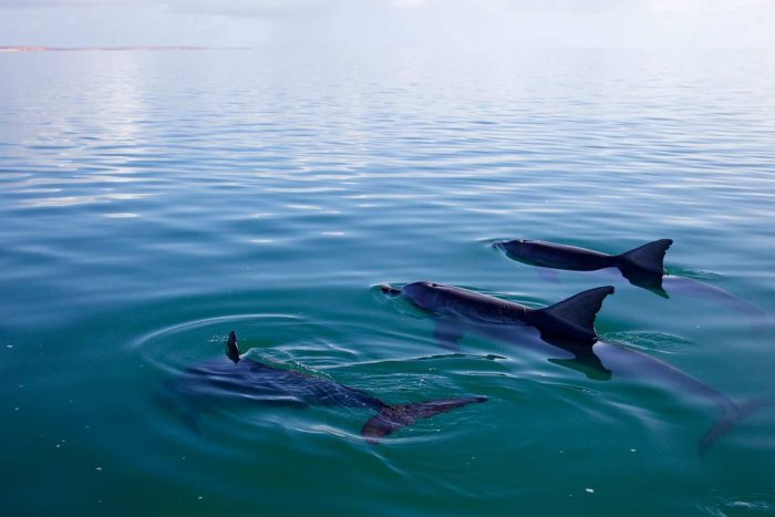 Three dolphins swim together in a very calm, blue ocean.